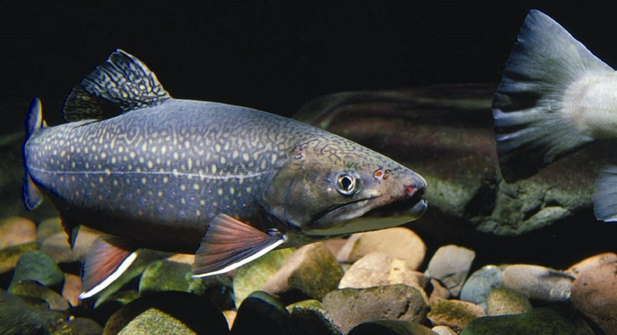Eastern Brook Trout