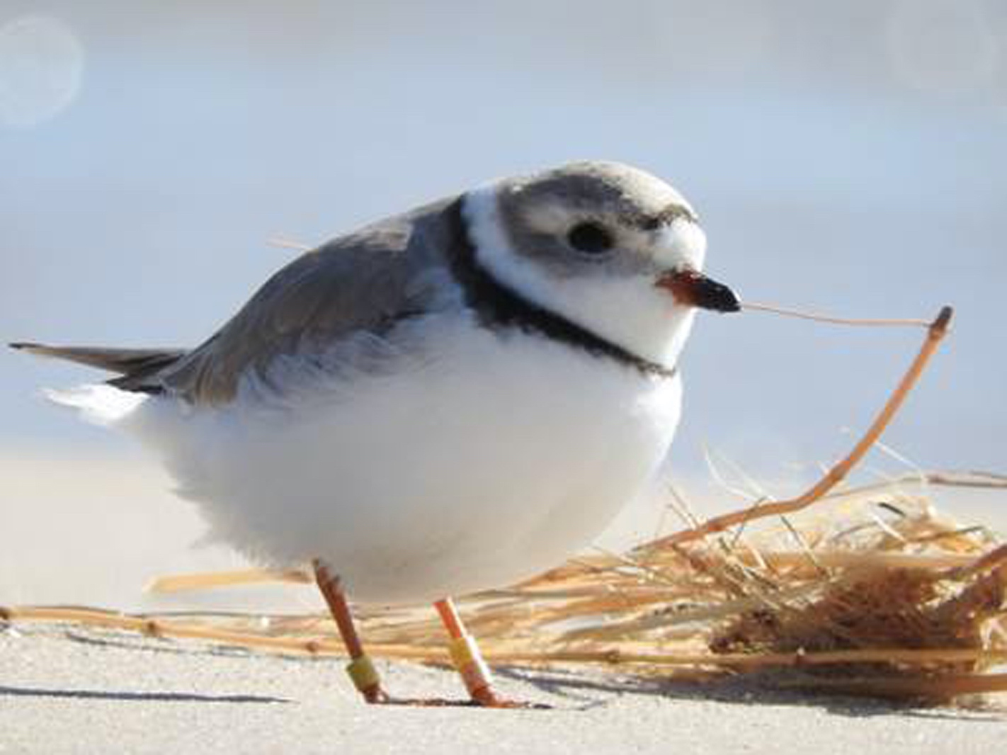 Piping Plover with leg bands